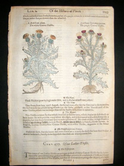 Gerards Herbal 1633 Hand Col Botanical Print. Cotton & Ladies Thistle | Albion Prints